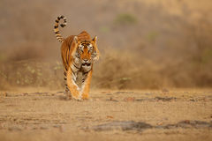 Cabeza que camina masculina del tigre en la composición Imagen de archivo libre de regalías