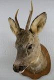 Cabeza rellena de los ciervos Fotos de archivo