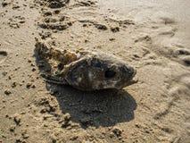 Cabeza roída de los pescados en la arena Imagen de archivo libre de regalías