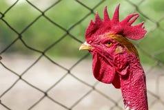 Cabeza roja de un gallo o de un gallo en corral Cultivo de concepto Imagen de archivo