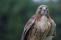 Cabeza-tiro Rojo-atado del halcón Imagen de archivo