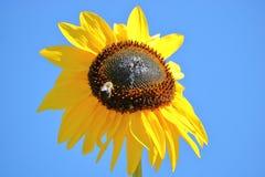 Cabeza y abeja mini o enanas del girasol Foto de archivo
