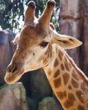 Cabeza y cuello de la jirafa Fotografía de archivo