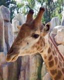 Cabeza y cuello de la jirafa Imagenes de archivo