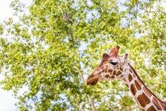 Cabeza y cuello de la jirafa Fotos de archivo