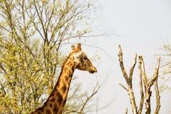 Cabeza y cuello del ` s de la jirafa entre los árboles Imagen de archivo