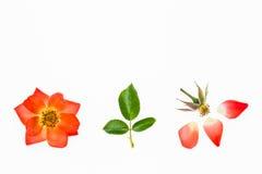 Cabeza y pétalos color de rosa de flor de la naranja en el fondo blanco Imagen de archivo