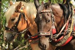 Cabezas amarillas y caballo marrón en un arnés fotografía de archivo