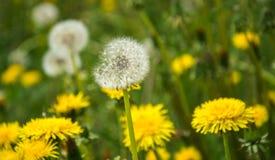 Cabezas blancas del diente de le?n en el fondo de plantas y de la hierba Dientes de le?n mullidos foto de archivo libre de regalías