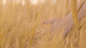 Cabezas conmovedoras del granjero del maíz cosecha-listo con su mano, industria de la agricultura metrajes