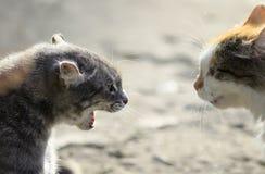 Cabezas de dos gatos agresivos que se hacen frente, silbido en cada uno más allá del horizonte Foto de archivo