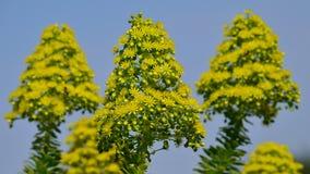 Cabezas de flor del aeonium Fotos de archivo libres de regalías
