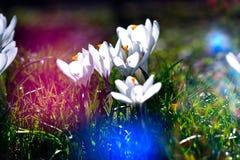 Cabezas de flor del azafrán Foto de archivo