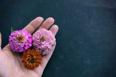 Cabezas de flor del Zinnia de la tenencia de la mano con el espacio de la copia en fondo negro imagenes de archivo