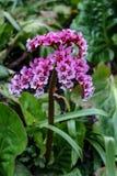 Cabezas de flor púrpuras minúsculas foto de archivo libre de regalías