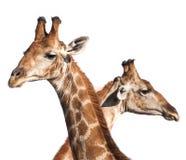 Cabezas de la jirafa Fotos de archivo libres de regalías