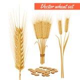 Cabezas de la planta del trigo y cartel del grano Fotos de archivo libres de regalías