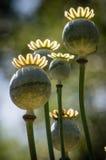 Cabezas de la semilla Imagen de archivo libre de regalías