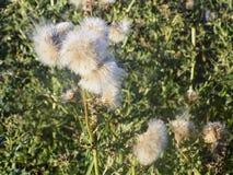 Cabezas de la semilla del cardo en seto Imagenes de archivo