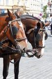 Cabezas de los caballos que enganchan para arriba en Praga fotos de archivo