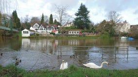 2 cabezas de los cisnes bajo alimentación del agua Imagen de archivo