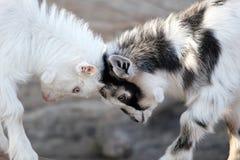 Cabezas del extremo de las cabras del bebé Foto de archivo libre de regalías