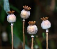 Cabezas grandes de la semilla de amapola Fotos de archivo libres de regalías