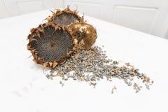 Cabezas orgánicas del girasol Foto de archivo