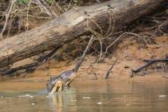Cabezas para arriba: Riverbank cercano por encima de la superficie de las nutrias gigantes salvajes Fotos de archivo libres de regalías
