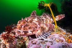 Cabezon鱼 免版税图库摄影