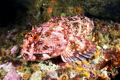 Cabezon Fish Royalty Free Stock Photos