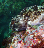 Cabezon fish. Cabezon (Scorpaenichthys marmoratus) found off of central California's Channel Islands Stock Photography