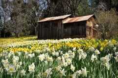 Cabin at Daffodil Hill California Royalty Free Stock Images