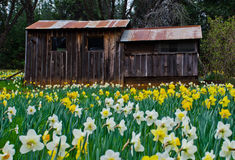 Cabin and Daffodils Stock Images