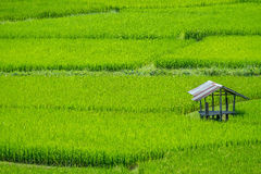 Cabin on green rice field Stock Image