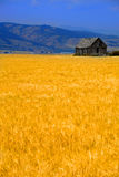 Cabin Old Homestead on Farmground Field of Grain Royalty Free Stock Image