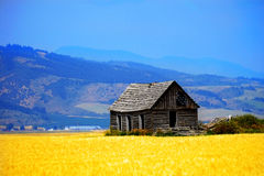 Cabin Old Homestead on Farmground Field of Grain. Cabin old homestead on farmground with field of grain royalty free stock image