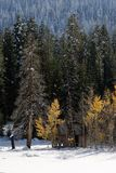 Cabin in Snow. An old abandon cabin that sites in the High Sierra, surrounded by aspen that still have their fall color. An early season storm covers the trees stock photos