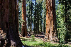Cabin in the woods. Small cabin surrounded by giant sequoia in Yosemite National Park, California stock images