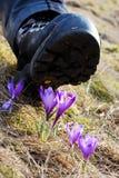 Cabina che schiaccia i fiori del croco Fotografia Stock Libera da Diritti