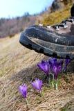 Cabina che schiaccia i fiori del croco Immagini Stock