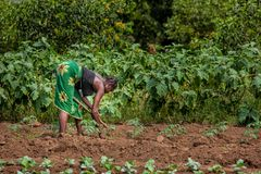 CABINDA/ANGOLA - 2010年6月09日-工作在领域的农村女性农夫 库存照片
