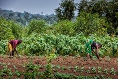 CABINDA/ANGOLA - 2010年6月09日-耕地的农村农夫在卡宾达市 安哥拉,非洲 免版税库存照片
