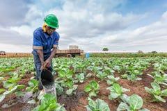 CABINDA/ANGOLA - 2010年6月09日-非洲种植农夫浇灌的圆白菜,卡宾达市 安格斯 图库摄影