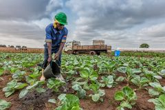CABINDA/ANGOLA - 9 de junho de 2010 - couve molhando que planta, Cabinda do fazendeiro africano angola Fotografia de Stock