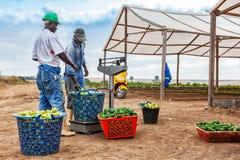 CABINDA/ANGOLA - 9 de junho de 2010 - fazendeiro africano que pesa tomates CABINDA/ANGOLA - 9 de junho de 2010 - fazendeiro afric Foto de Stock Royalty Free