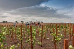 CABINDA/ANGOLA - 9 giugno 2010 - piantagione dei pomodori ancora si inverdiscono in Africa, trattore e agricoltori nel fondo L'Af Immagine Stock