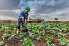 CABINDA/ANGOLA - 9 juin 2010 - chou d'arrosage africain d'agriculteur plantant, Cabinda l'angola Photo libre de droits