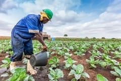 CABINDA/ANGOLA - 9 juin 2010 - chou d'arrosage africain d'agriculteur plantant, Cabinda l'angola Photo stock