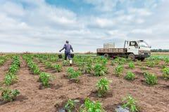 CABINDA/ANGOLA - 9 juin 2010 - chou d'arrosage africain d'agriculteur plantant, Cabinda l'angola Photographie stock